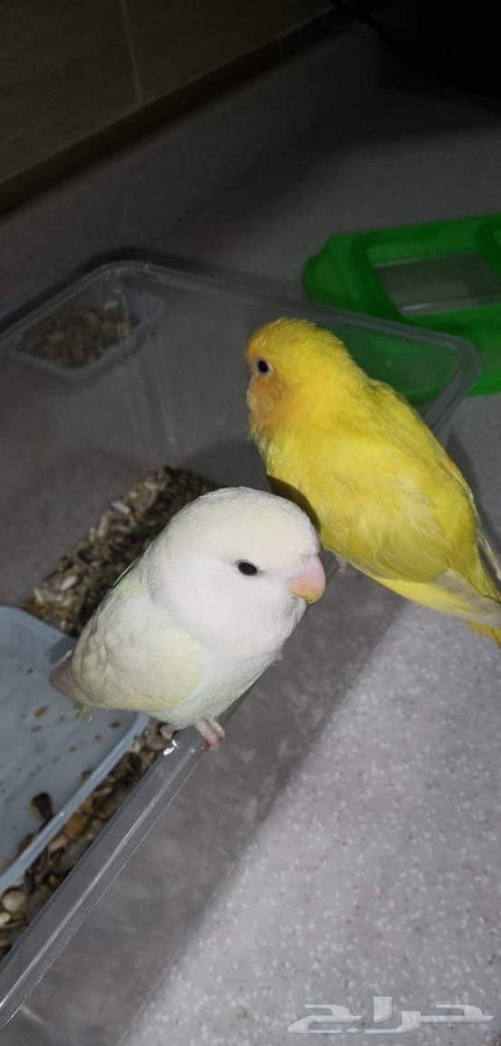 طيور ببغاء روز
