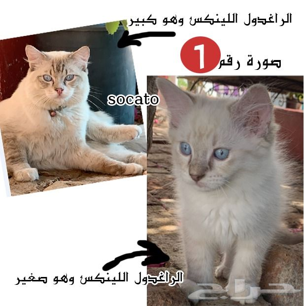 قطط راغدول للبيع توب ليست هميلايا للتربية