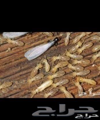النحم الذهبي للنظافه العامة بالطائف