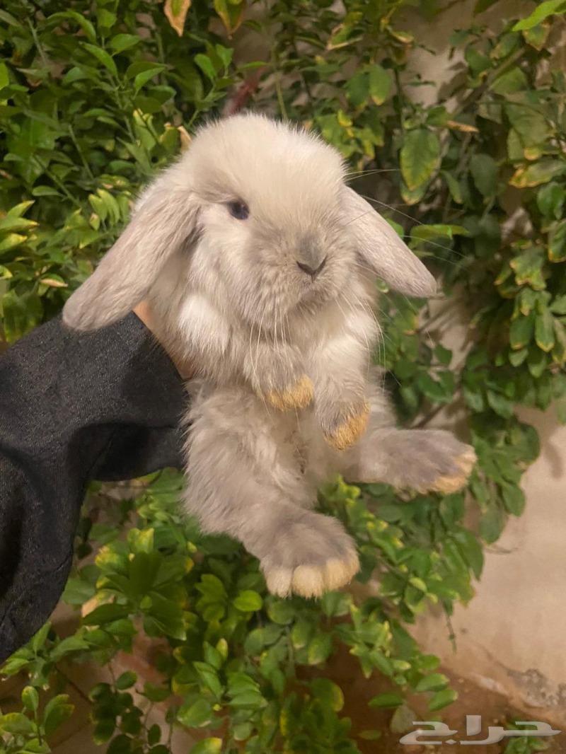أرانب مني لوب و هولند لوب للبيع