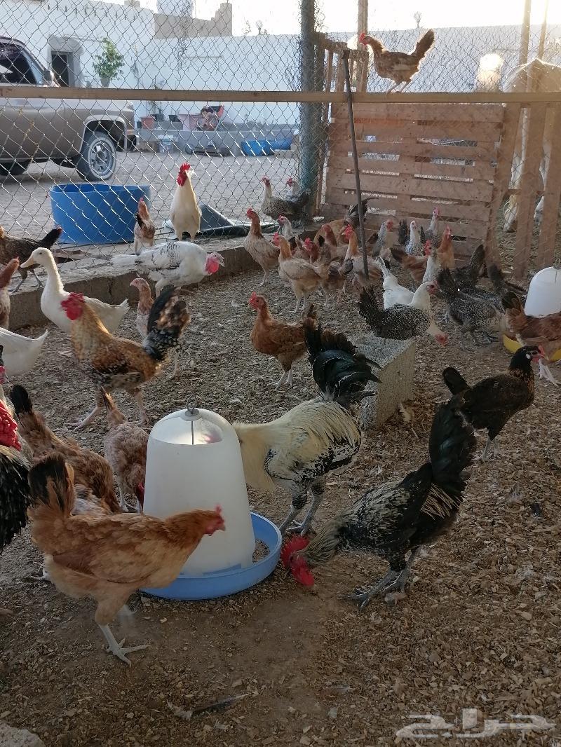دجاج فيومي وبلدي مشكل