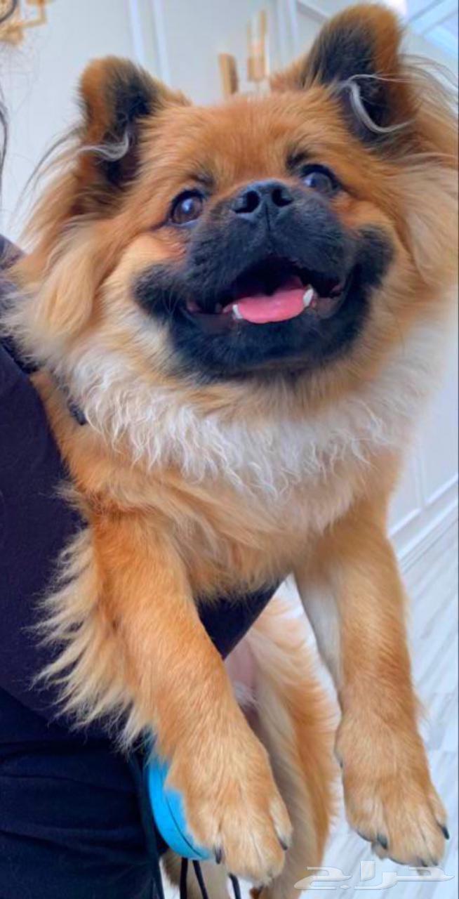 كلب بيكنواه بومرينيان